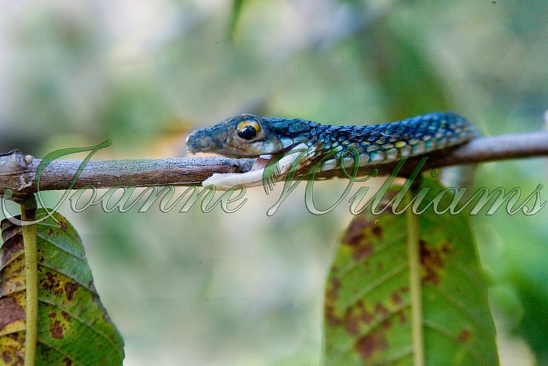 _P1E1067Whip Snake.jpg