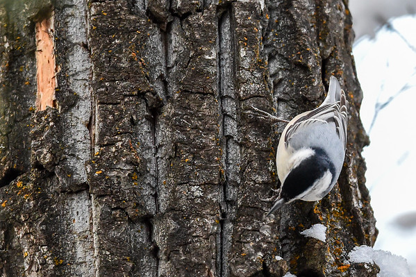 12-23-15 White-Breasted Nuthatch