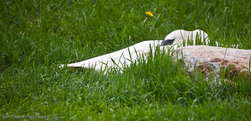 Sleeping White Swan, Calgary Zoo