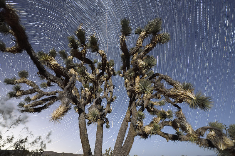 Joshua Tree Under the Stars