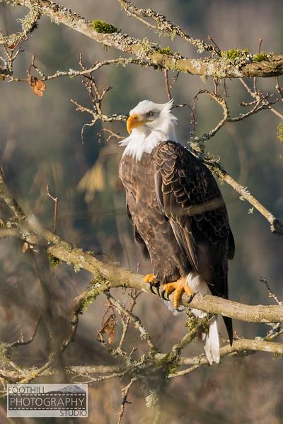 Eagle Sml-18.jpg