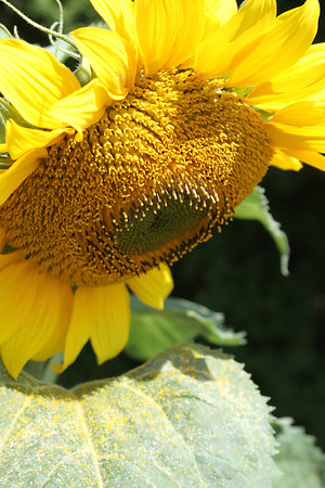 Summer of Sunflowers