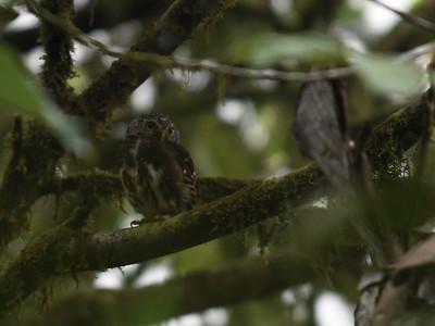 Cloud Forest Pygmy-Owl