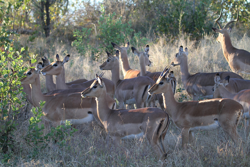 Impala herd - females, young males and dominant male