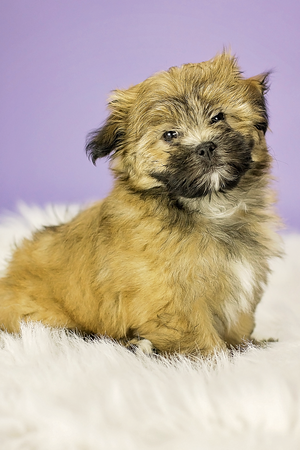 Roxy the Shih Tzu Pomeranian Mix (2 Months old)