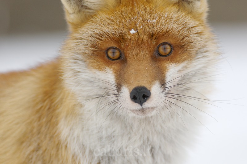 Portrait of a Red Fox in winter