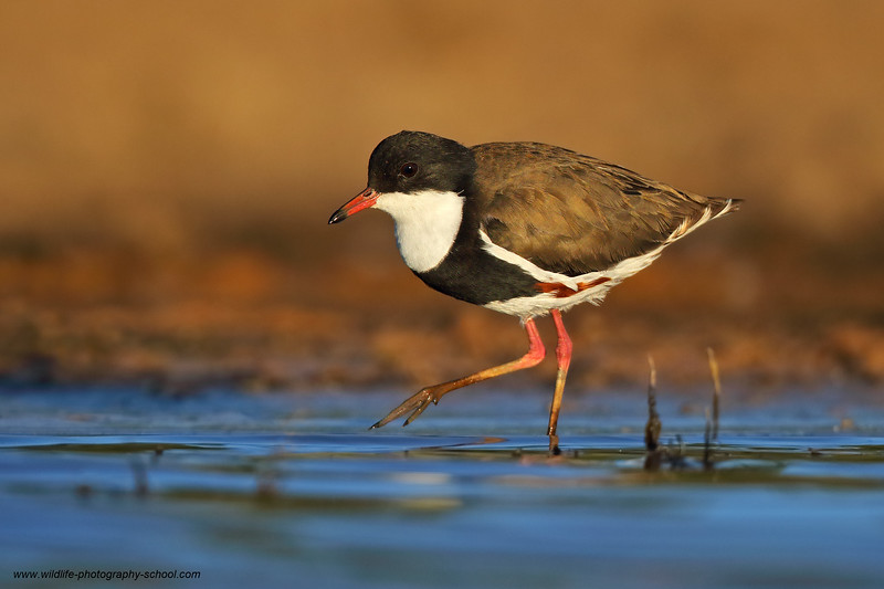 Red-kneed Dotterel 3.jpg