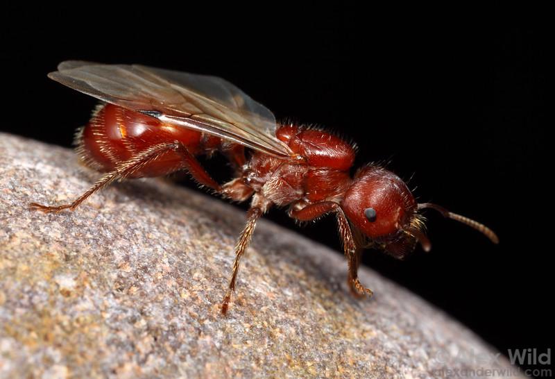 Pogonomyrmex barbatus alate queen.  Sycamore Canyon, Arizona, USA