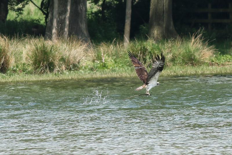 Rutland Water Ospreys