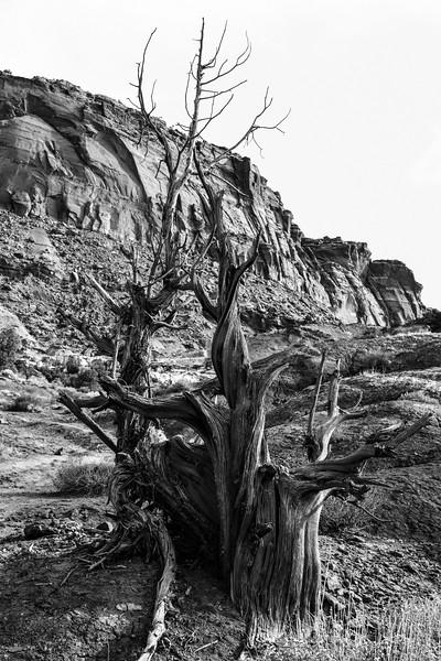 DSC_6176 Dead Tree thruNEF BW PS-.jpg