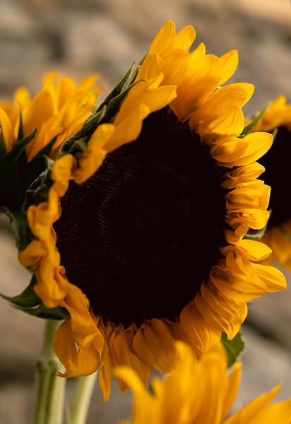_DSC3861-Edit sunflower PS jpg.jpg
