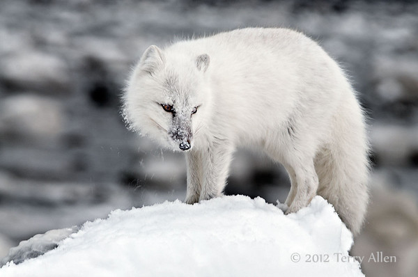 Arctic foxes in winter white