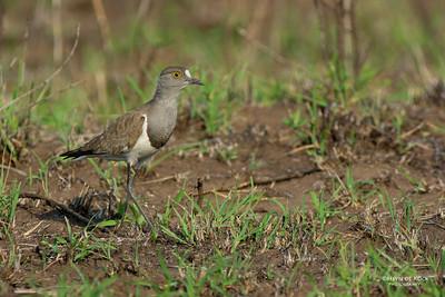 Senegal Lapwing (Vanellus lugubris)