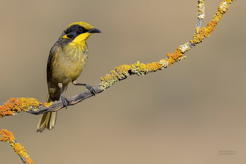 Yellow-tufted Honeyeater, Glenrowan, VIC Oct 2018-6.jpg