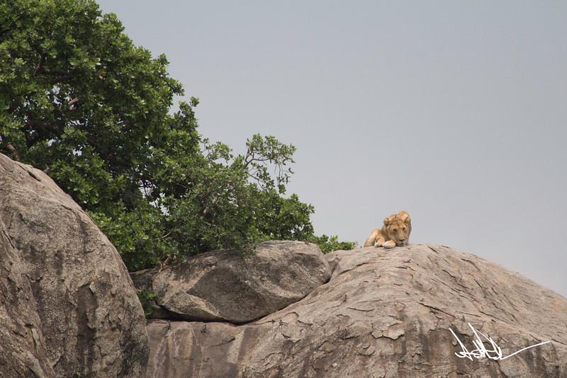 Lions Serengeti - S-3.jpg