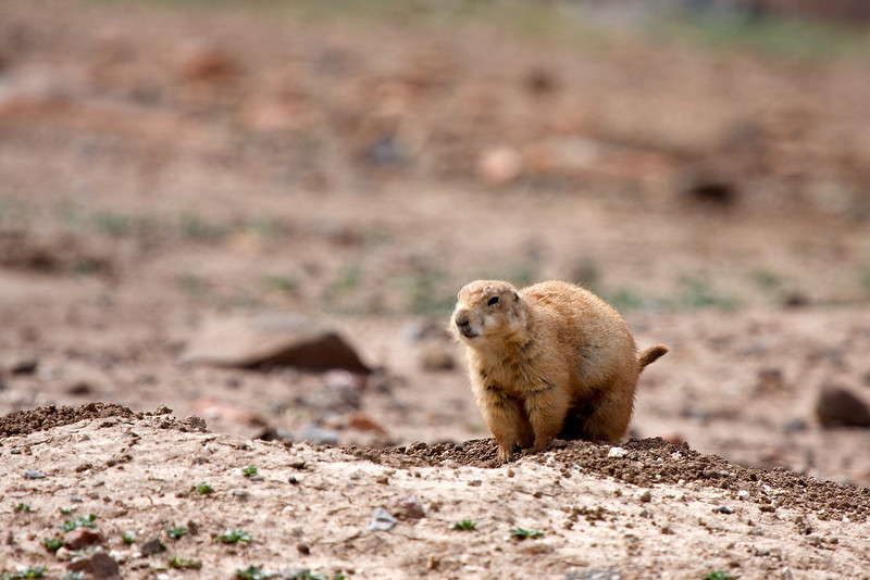 Prairie Dog-13
