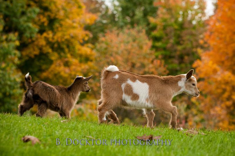 1310_Nigerian dwarf goats_110.jpg