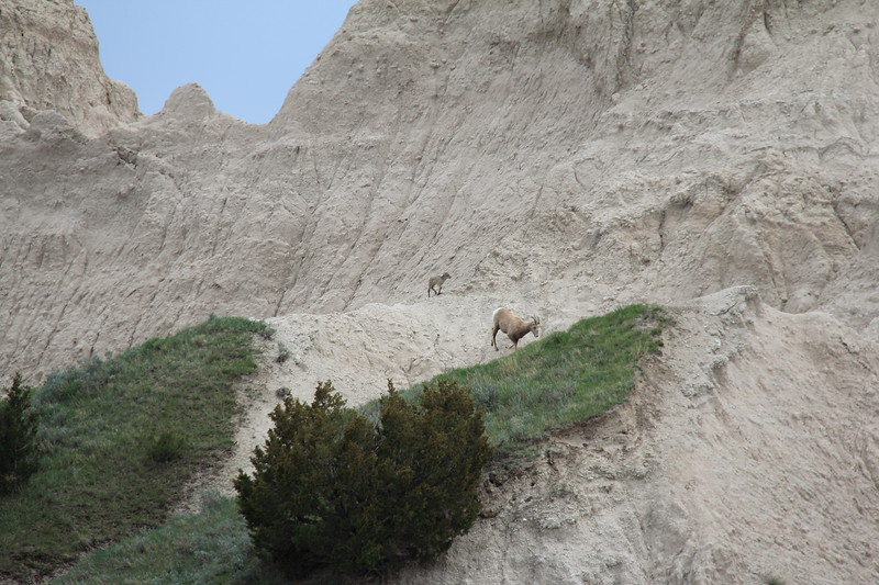 20140523-140-BadlandsNP-MountainGoats.JPG