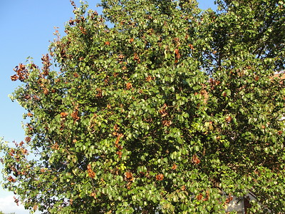 fire-blight-is-destructive-to-fruit-trees