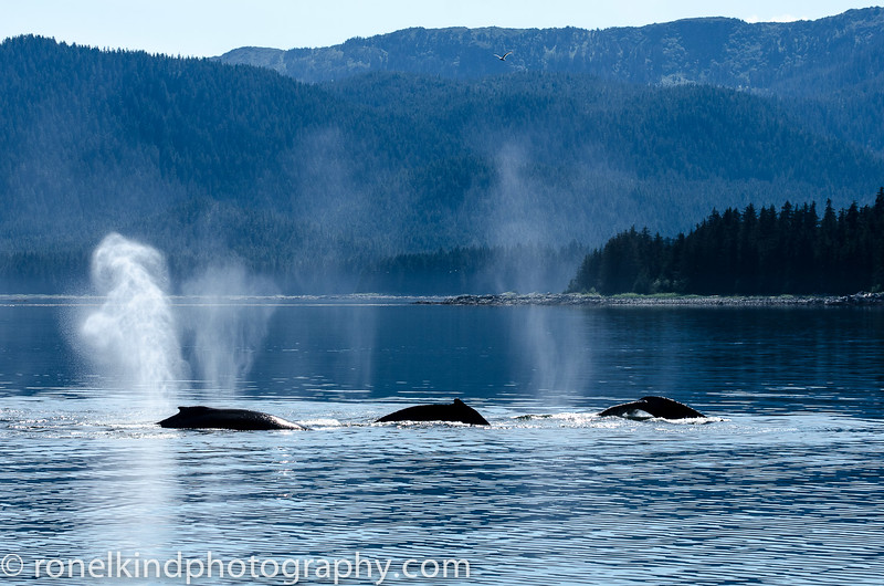 Humpback whales surfacing for air.