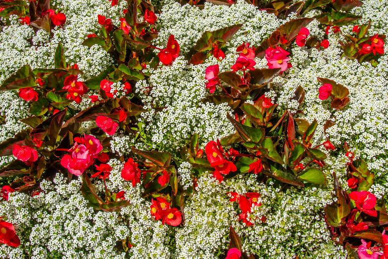 Begonia in White