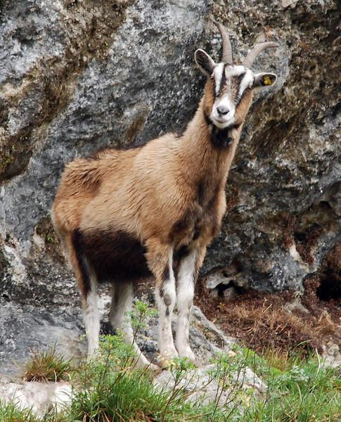 Montain goat, Cadenabbia, Italy