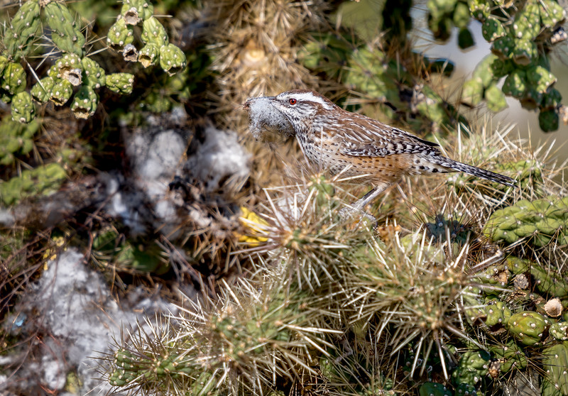 Cactus Wren With Nest Material #2