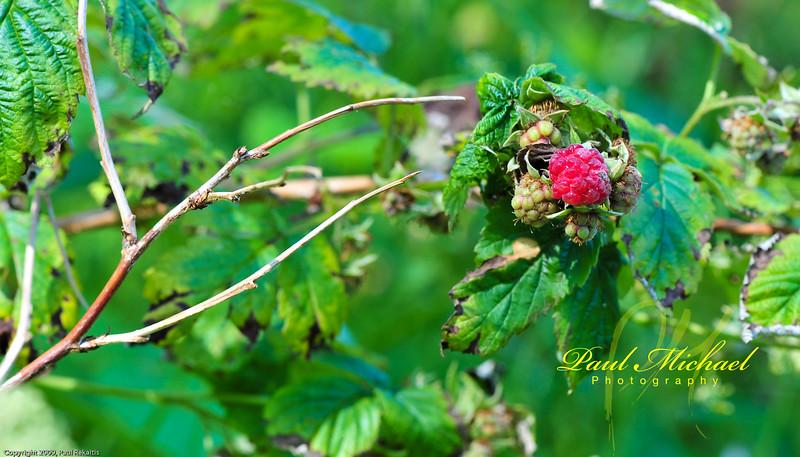 Wild Raspberry.