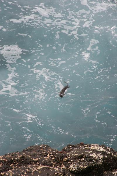 2007-02-19-0040-Galapagos with Hahns-Day 3, Espanola-Marina Iguana, swimming.JPG