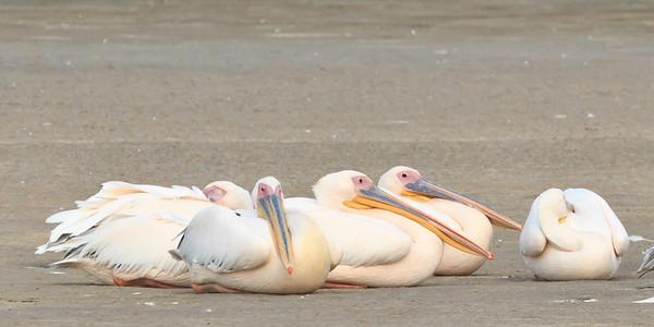 Great white pelican