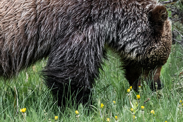 6-21-20 D850 Lone Grizzly Bear