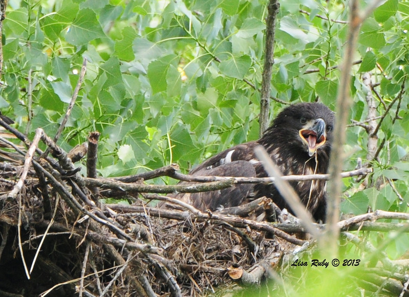 """Juvie, in the nest making a noise we call """"screeing"""". Probably yelling for Mom or Dad to bring food. 6/26/13"""
