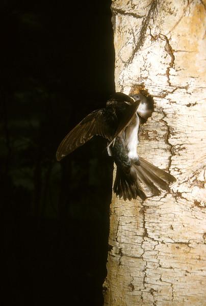 Tree Swallow (Tachycineta bicolor), Blacksmith Fork, Wasatch Mountains, Cache Co., Utah