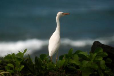 Egret walking on Lava rock