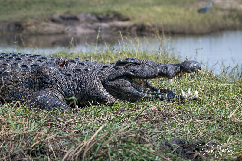 Crocodile on Island