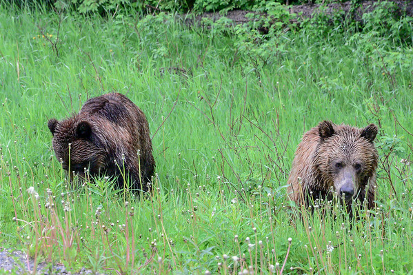6-26-14 Young Grizzly Bears