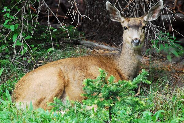 Deer, Antelope, & Bison