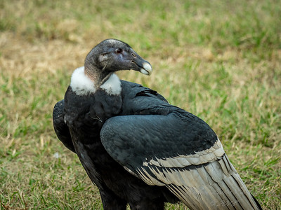 Andean condor  (Cathartidae)