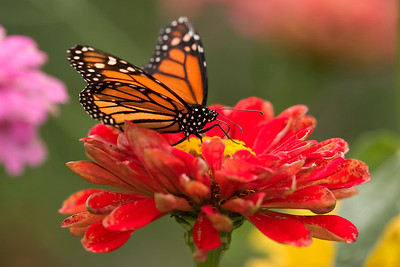 Garden, Butterflies, Wildflowers