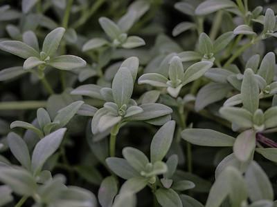 Melanthera integrifolia (Asteraceae)