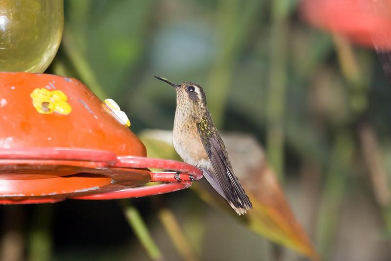 Speckled Hummingbird at Machu Picchu Pueblo Hotel, Aguas Calientes, Peru (2008-07-05).psd