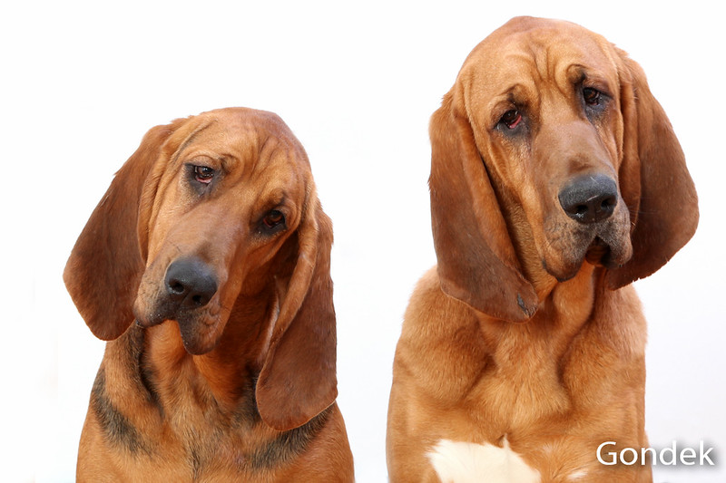 Bloodhound Brother and Sister.JPG