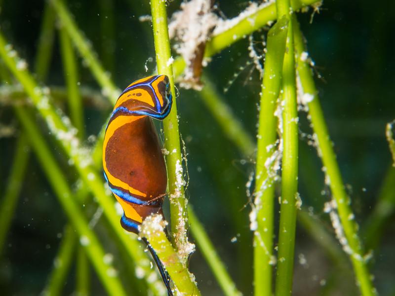 leech headshield slug: Chelidonura hirundinina