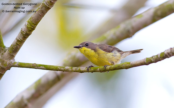 Australasian Warblers	Family Acanthizidae