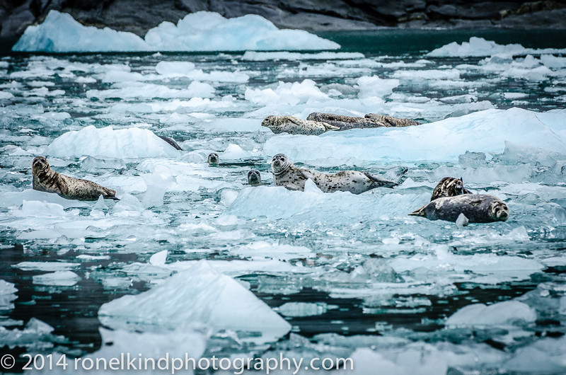 Harbor Seals warming up on the ice.