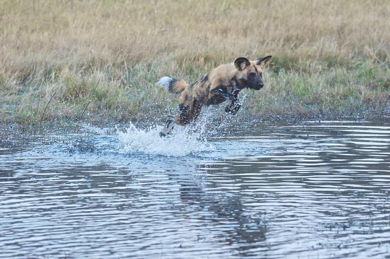 African wild dog hunting impala, Selinda Reserve, Botswana