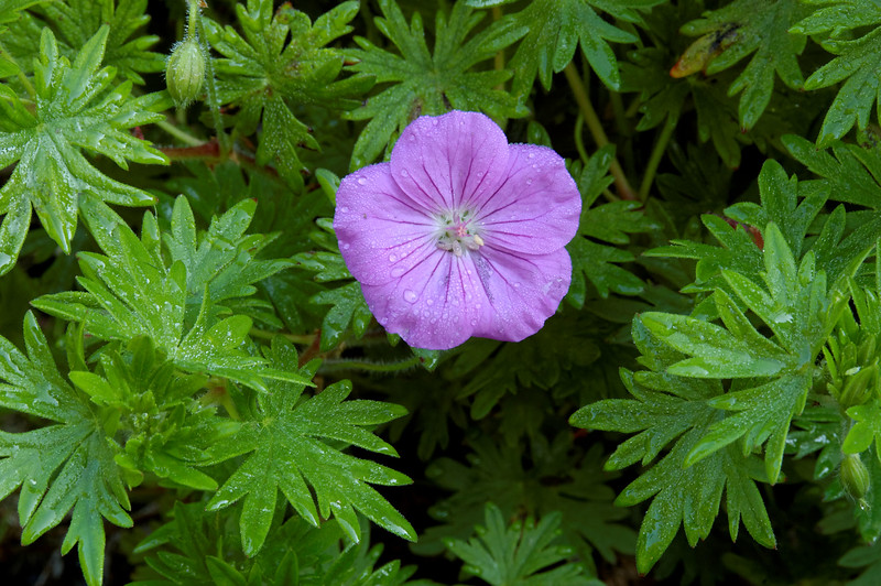 Geranium (5).jpg