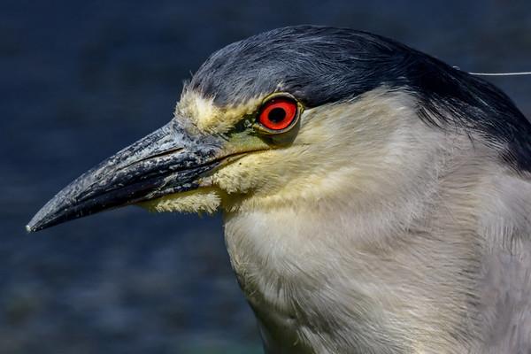 7-13-18 Black-crowned Night-Heron