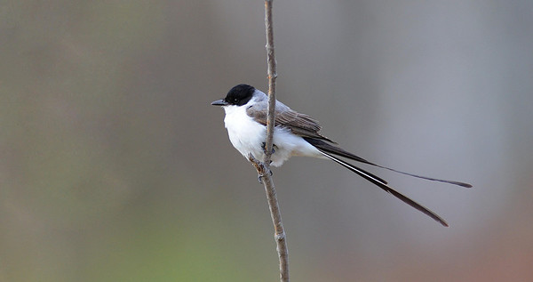Fork- tailed Flycatcher