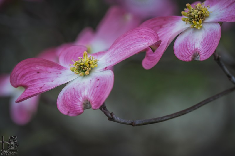 Twin dogwood bracts